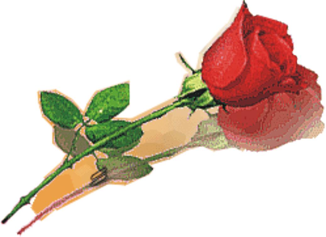 50 Bunga Mawar Merah Elvy
